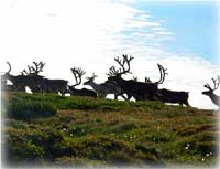 Bitter weather may have wiped out reindeer