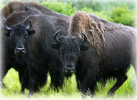 Draft Rule to Reintroduce Wood Bison in Alaska