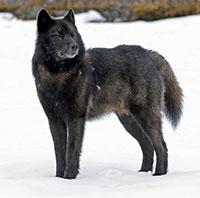 Endangered Species Protection Denied to Alaska's 'Alexander Archipelago Wolf