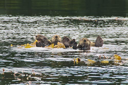jpg Burgeoning sea otter population in southern Southeast Alaska depletes commercial fishery species