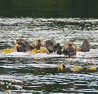 Burgeoning sea otter population in southern Southeast Alaska depletes commercial fishery species