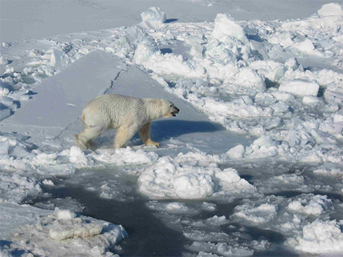 jpg Would the Arctic still be the Arctic without the polar bear?