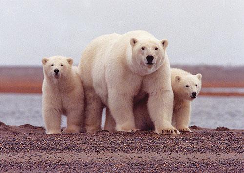 jpg Polar Bear Mother With Cubs Along the Beaufort Sea