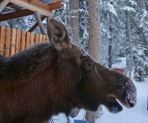 SitNews: What's the purpose of a moose's long nose?   By Ned ROZELL