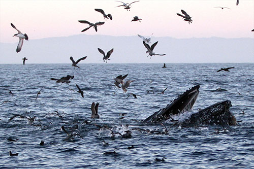 """Blob"" Research Reveals Environmental Effects That Shut Down Fishing and Hiked Whale Entanglements"