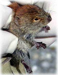 Why did the vole climb the tree?