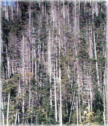 jpg Yellow-cedar are dying in Alaska: Scientists now know why
