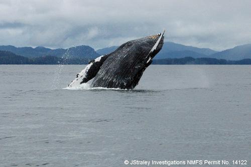 jpg A humpback whale breaches in Southeast Alaska waters
