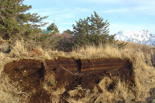 jpg A peat exposure near the village of Nanwalek that holds evidence of many volcanic eruptions and a few tsunamis.