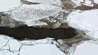 Rafts of birds overwintering in the Bering Sea