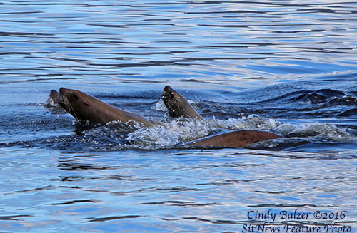 Hole in the Wall: Sea Lions By CINDY BALZER ©2016