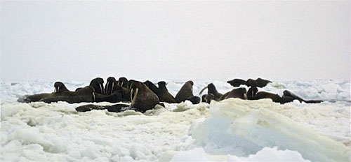 jpg Walruses among sea ice in the Bering Strait region.