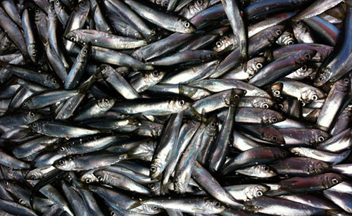 jpg Herring fishery's strength is in the sum of its parts, study finds