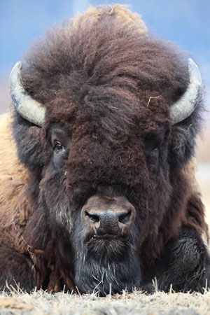 jpg Wood Bison's Death Leaves Void That Could Slow Herd's Expansion