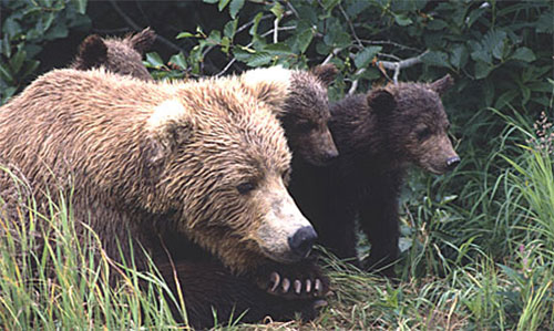 jpg Overturn of Fish and Wildlife Rule Moves Forward; Voids Carnivore Protections on Alaska National Wildlife Refuge