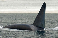 Arctic killer whales alter narwhal distribution and activity