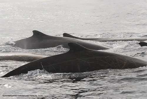 jpg Baird's beaked whales in the Gulf of Alaska.