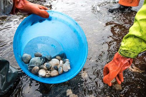 jpg Network will assist safe shellfish harvest in Alaska