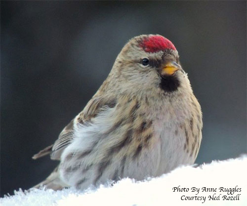 Invasion of redpolls sends seeds flying