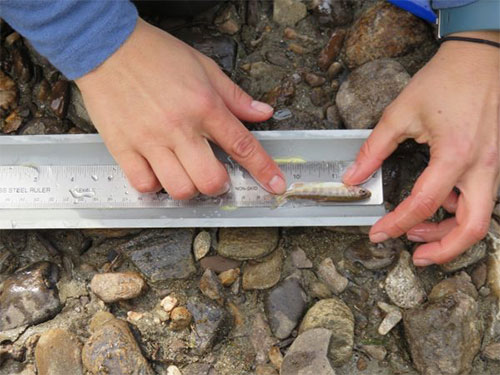 jpg Elizabeth Hinkle measures a small grayling collected in Colorado Creek, which drains into the upper Chena River east of Fairbanks.