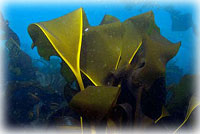 Researchers discover new kelp species in Aleutians