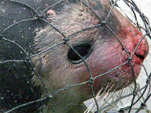 jpg Seal Captured Near Yakutat Found To Have Hair Loss and Skin Sore Disease