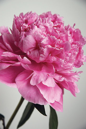 jpg Alaska's peonies are the state's new cash crop