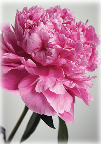 Alaska's peonies are the state's new cash crop