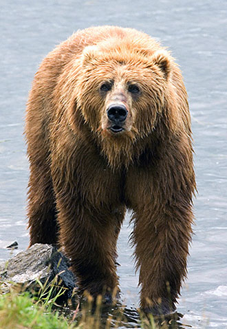 jpg DNA Study Clarifies How Polar Bears & Brown Bears Are Related