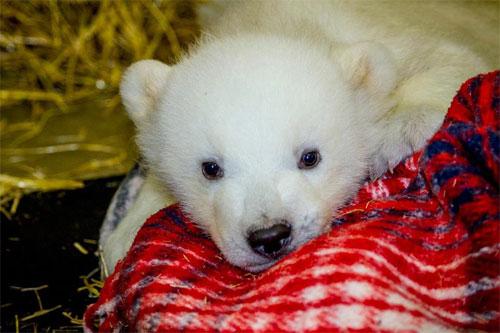 jpg Orphaned Polar Bear Cub Delivered to The Alaska Zoo