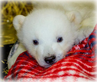 Orphaned Polar Bear Cub Delivered to The Alaska Zoo
