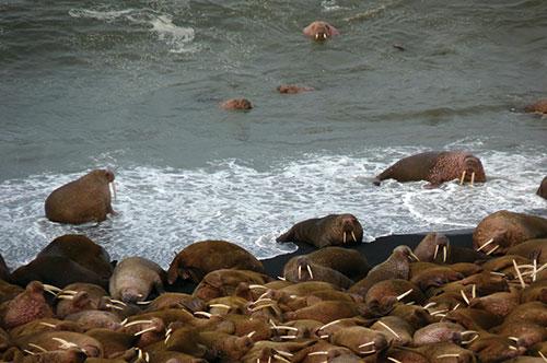jpg Alaskans Team Up to Prevent Walrus Stampedes