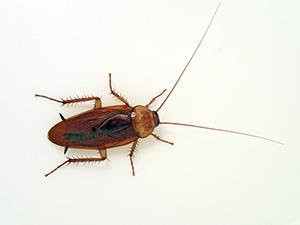 jpg American cockroach