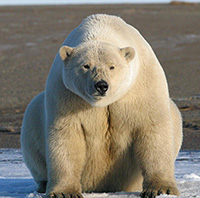 First global review on the status, future of Arctic marine mammals
