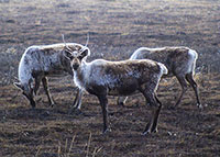 Harvest Restrictions on Northern Alaska Caribou Herds for First Time in Decades