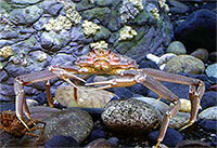 New Studies Raise Questions About Crabs Adaptability