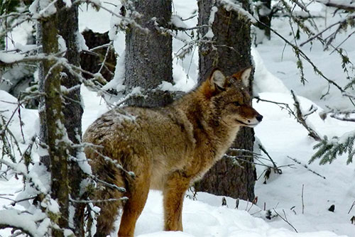 Fairbanks teacher Jim Lokken snapped this image of a coyote he has ...