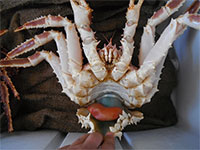 Zombie-generating crab parasites pose intriguing mysteries