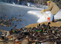 Far-north mallards thrive on the edge