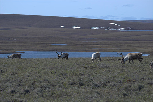 jpg Caribou Appear to Keep up with Warming Arctic