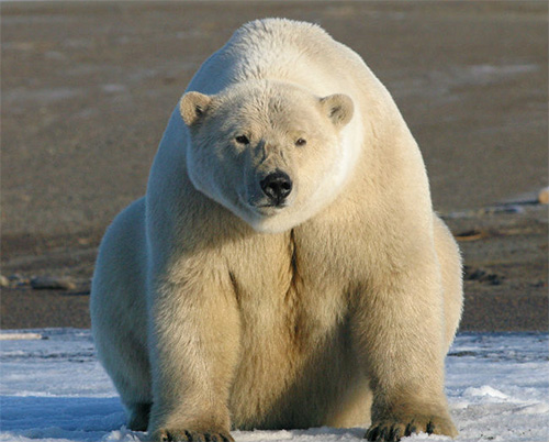 jpg How to conserve polar bears under climate change and maintain subsistence harvest