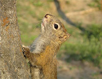 Squirrels somehow predict seed bonanza