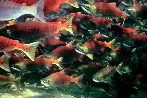 jpg Volcanoes and Eelgrass Transform Salmon Habitat