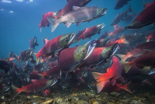 jpg Collective movement studies may enhance salmon management