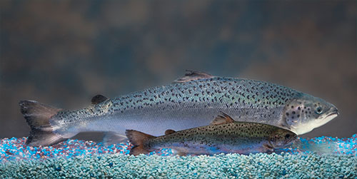jpg FDA's Decision Allows GE Salmon to Enter U.S.