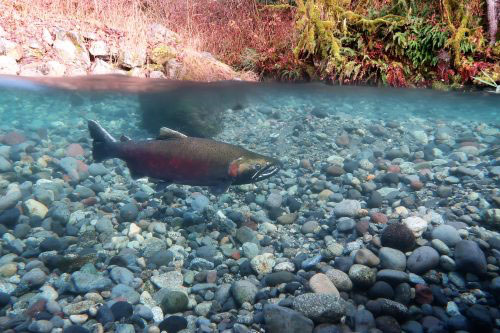 jpg Melting glaciers will have mixed effects on Pacific salmon
