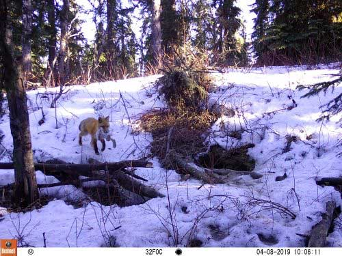 jpg A male red fox returns to a den with a snowshoe hare in spring 2019.