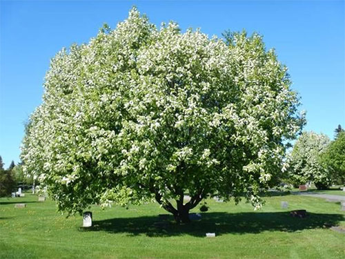 jpg Grants available to help choke off chokecherry trees in Alaska