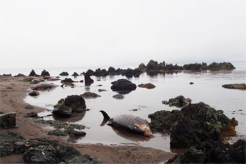 What Caused the Largest Known Mass Stranding of Stejneger's Beaked Whales?
