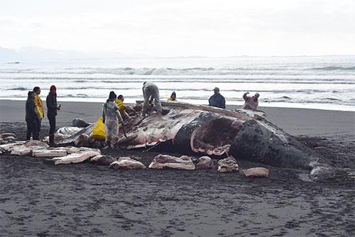 jpg Volunteers perform necropsy on humpback whale near Sitka, Alaska.